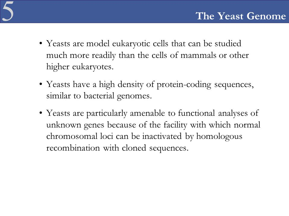 5 The Yeast Genome Yeasts are model eukaryotic cells that can be studied much more readily than the cells of mammals or other higher eukaryotes. Yeast