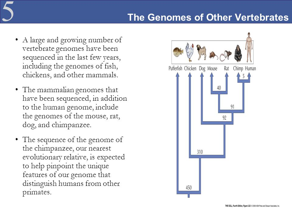 5 The Genomes of Other Vertebrates A large and growing number of vertebrate genomes have been sequenced in the last few years, including the genomes o