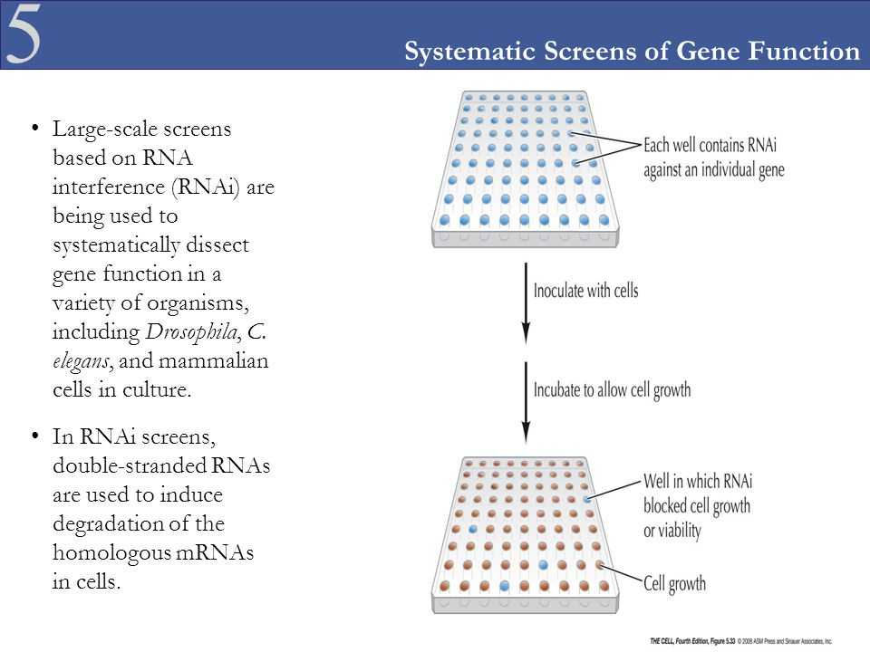 5 Systematic Screens of Gene Function Large-scale screens based on RNA interference (RNAi) are being used to systematically dissect gene function in a