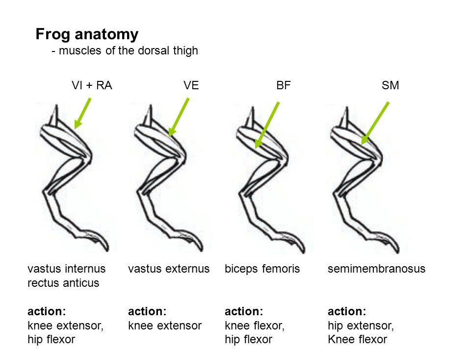 Frog anatomy - muscles of the dorsal thigh VI + RAVEBFSM vastus internus rectus anticus action: knee extensor, hip flexor vastus externus action: knee