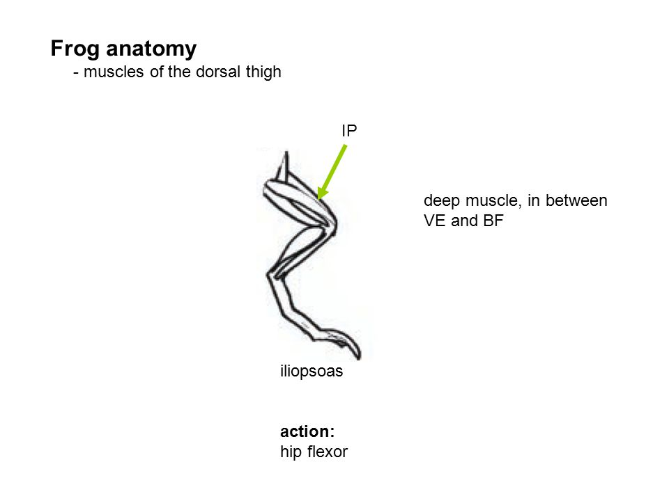 IP iliopsoas action: hip flexor deep muscle, in between VE and BF Frog anatomy - muscles of the dorsal thigh