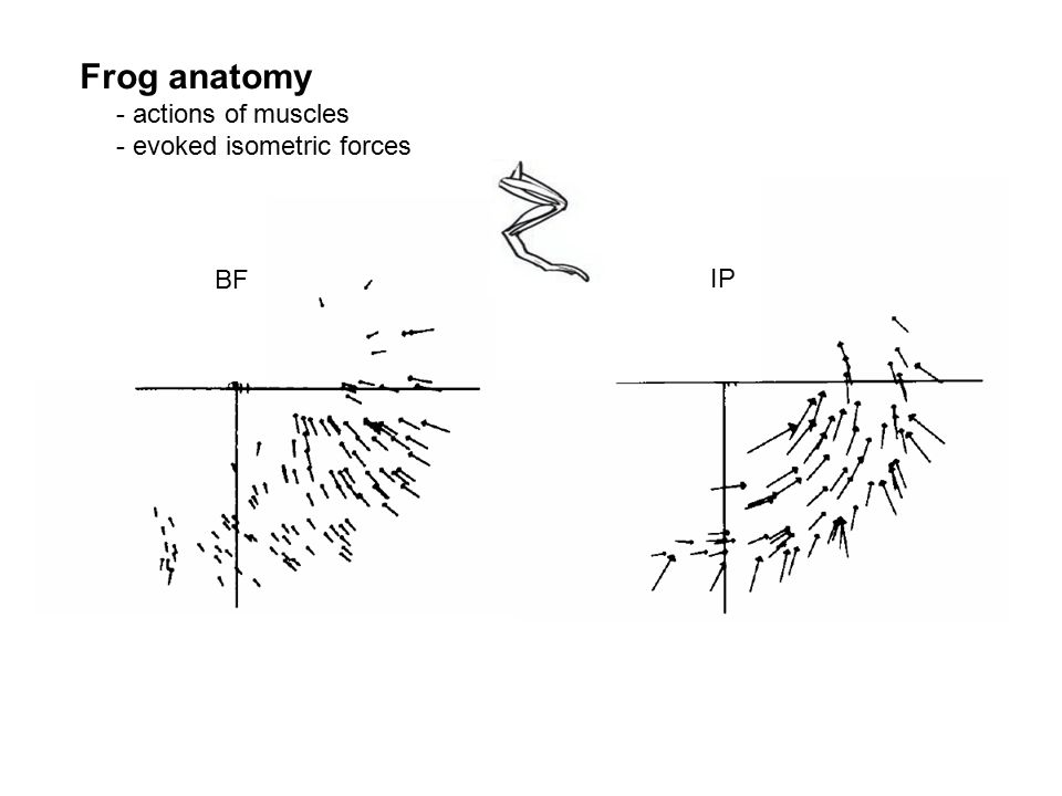 Frog anatomy - actions of muscles - evoked isometric forces BF IP