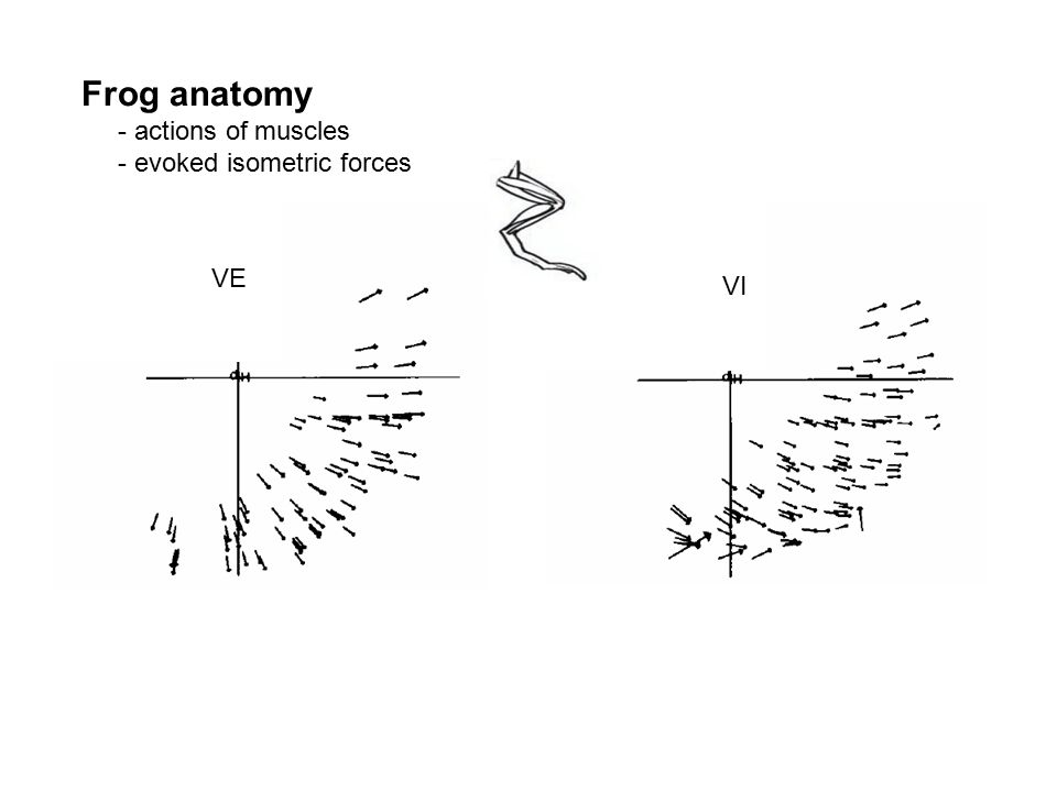 VE VI Frog anatomy - actions of muscles - evoked isometric forces