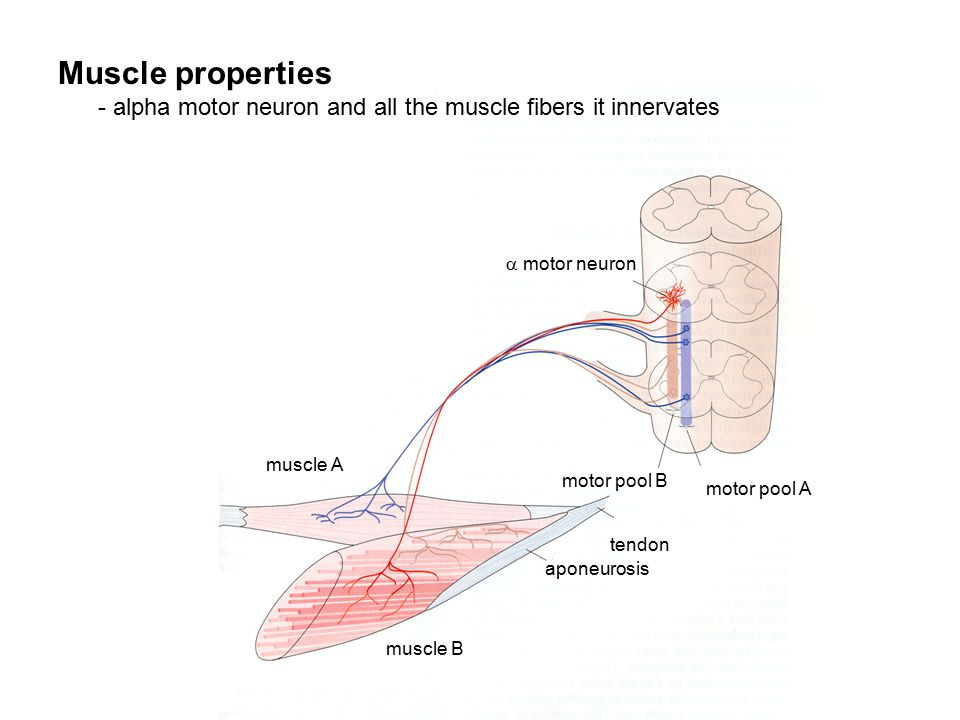 motor pool A motor pool B  motor neuron muscle B muscle A tendon aponeurosis Muscle properties - alpha motor neuron and all the muscle fibers it innervates