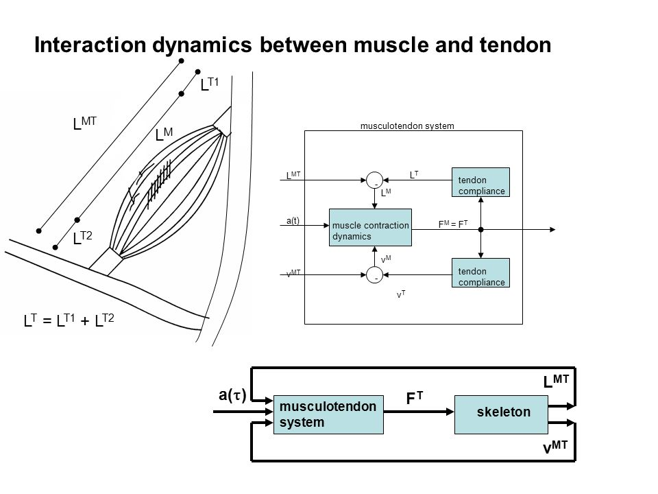 Interaction dynamics between muscle and tendon L MT LMLM L T1 L T2 muscle contraction dynamics tendon compliance tendon compliance - - L MT v MT a(t) LTLT vTvT F M = F T LMLM vMvM musculotendon system L T = L T1 + L T2 musculotendon system skeleton FTFT L MT v MT a(  )