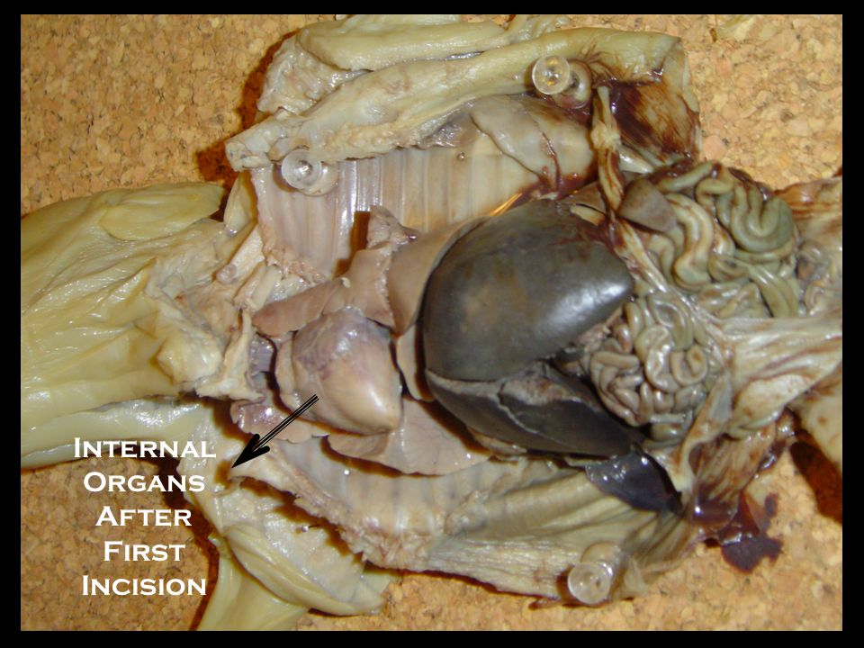 Internal Organs After First Incision