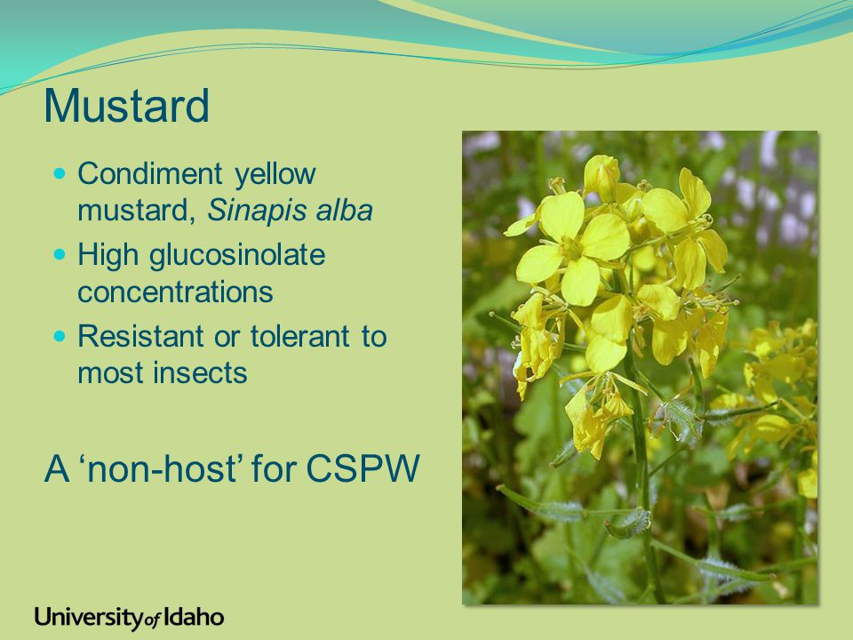 Mustard Condiment yellow mustard, Sinapis alba High glucosinolate concentrations Resistant or tolerant to most insects Sinapis alba A 'non-host' for CSPW