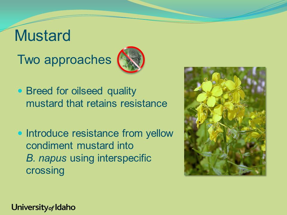 Mustard Two approaches Breed for oilseed quality mustard that retains resistance Introduce resistance from yellow condiment mustard into B.