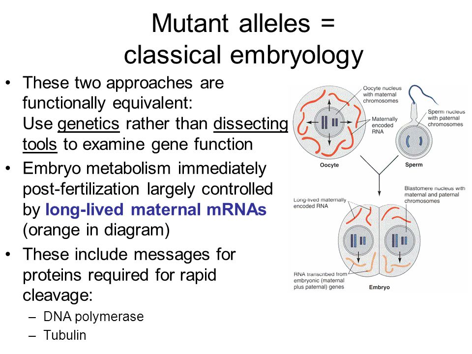Mutant alleles = classical embryology These two approaches are functionally equivalent: Use genetics rather than dissecting tools to examine gene function Embryo metabolism immediately post-fertilization largely controlled by long-lived maternal mRNAs (orange in diagram) These include messages for proteins required for rapid cleavage: –DNA polymerase –Tubulin