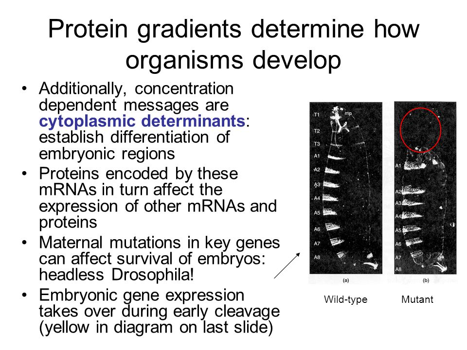 Protein gradients determine how organisms develop Additionally, concentration dependent messages are cytoplasmic determinants: establish differentiation of embryonic regions Proteins encoded by these mRNAs in turn affect the expression of other mRNAs and proteins Maternal mutations in key genes can affect survival of embryos: headless Drosophila.