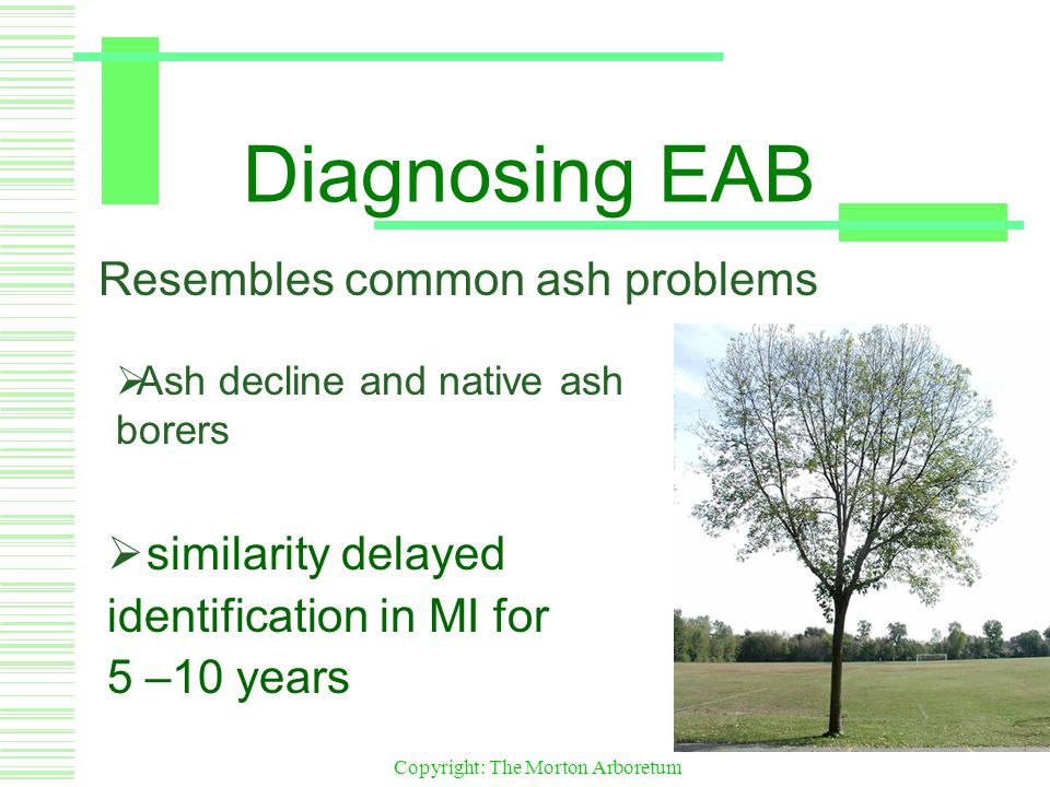 Copyright: The Morton Arboretum Diagnosing EAB  similarity delayed identification in MI for 5 –10 years Resembles common ash problems  Ash decline and native ash borers