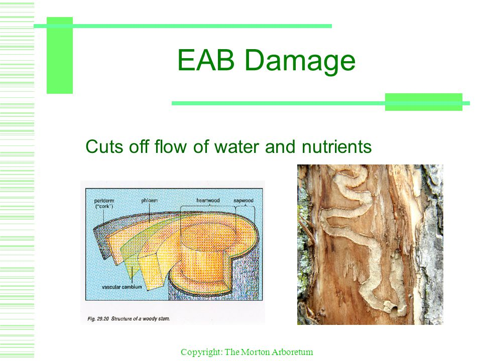Copyright: The Morton Arboretum EAB Damage Cuts off flow of water and nutrients