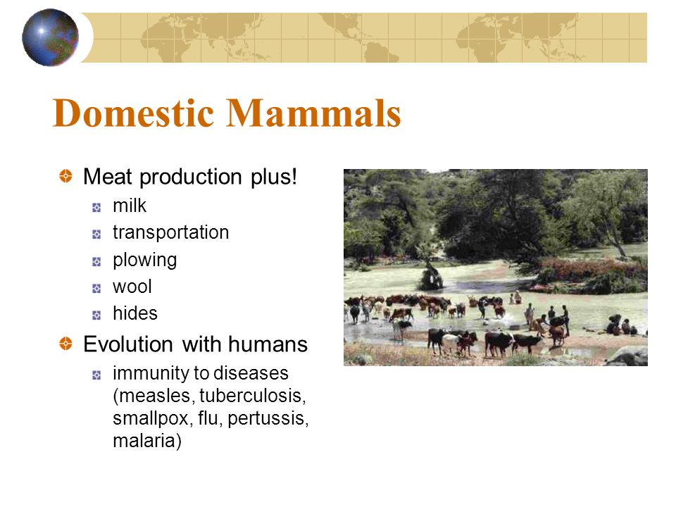 Domestic Mammals Meat production plus! milk transportation plowing wool hides Evolution with humans immunity to diseases (measles, tuberculosis, small