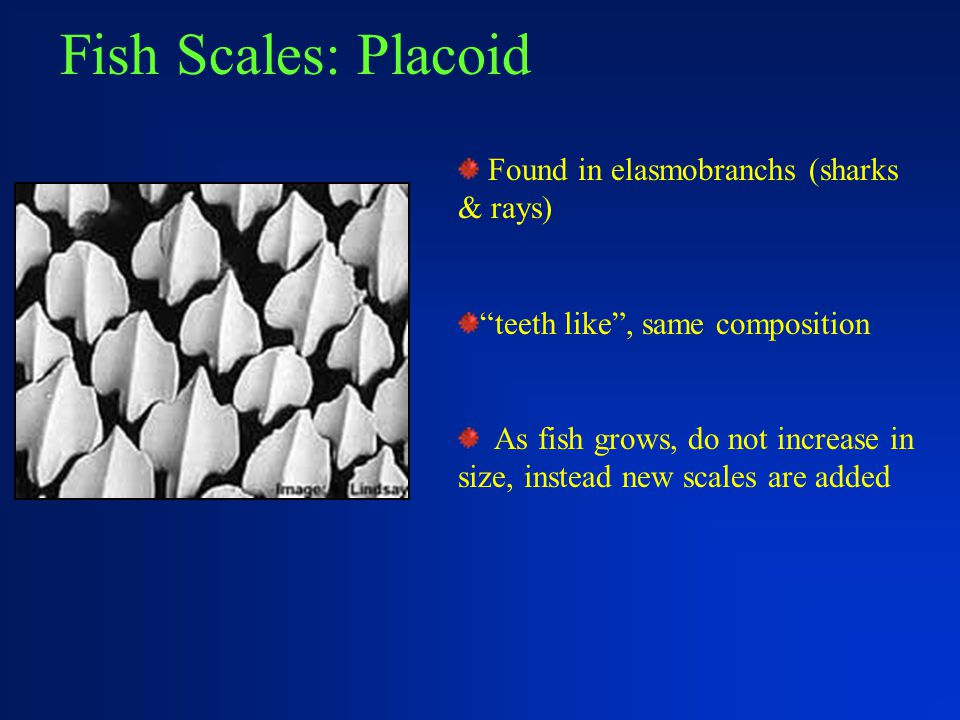 """Fish Scales: Placoid Found in elasmobranchs (sharks & rays) """"teeth like"""", same composition As fish grows, do not increase in size, instead new scales"""