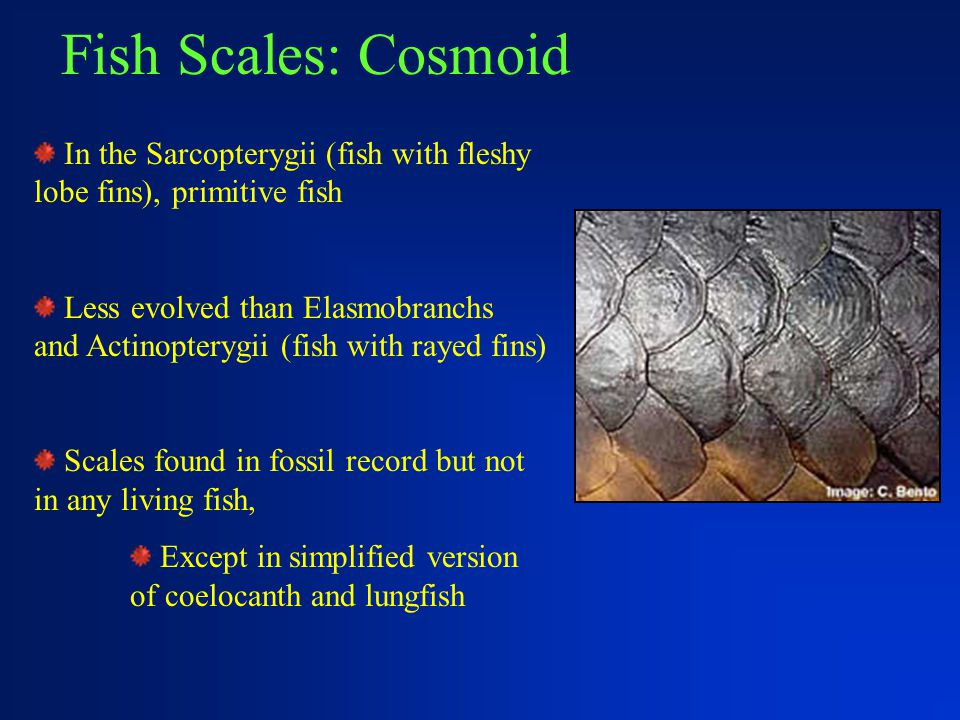 Fish Scales: Cosmoid In the Sarcopterygii (fish with fleshy lobe fins), primitive fish Less evolved than Elasmobranchs and Actinopterygii (fish with r