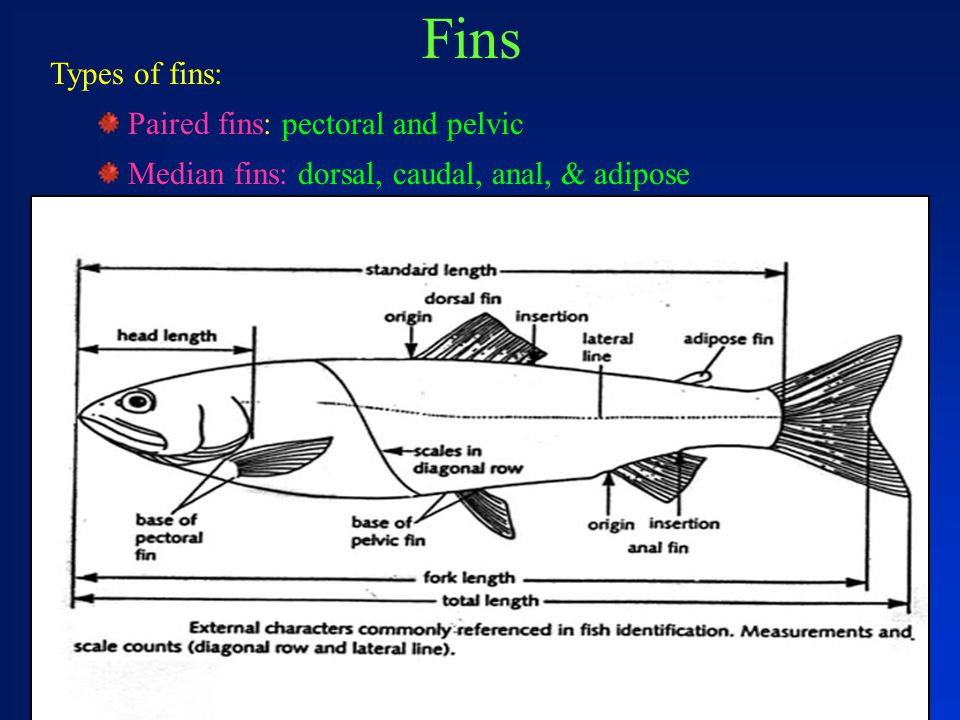 Fins Types of fins: Paired fins: pectoral and pelvic Median fins: dorsal, caudal, anal, & adipose