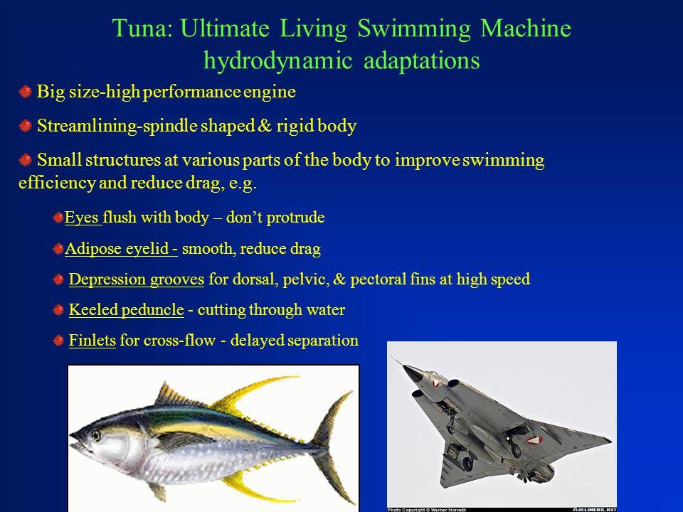 Tuna: Ultimate Living Swimming Machine hydrodynamic adaptations Big size-high performance engine Streamlining-spindle shaped & rigid body Small struct