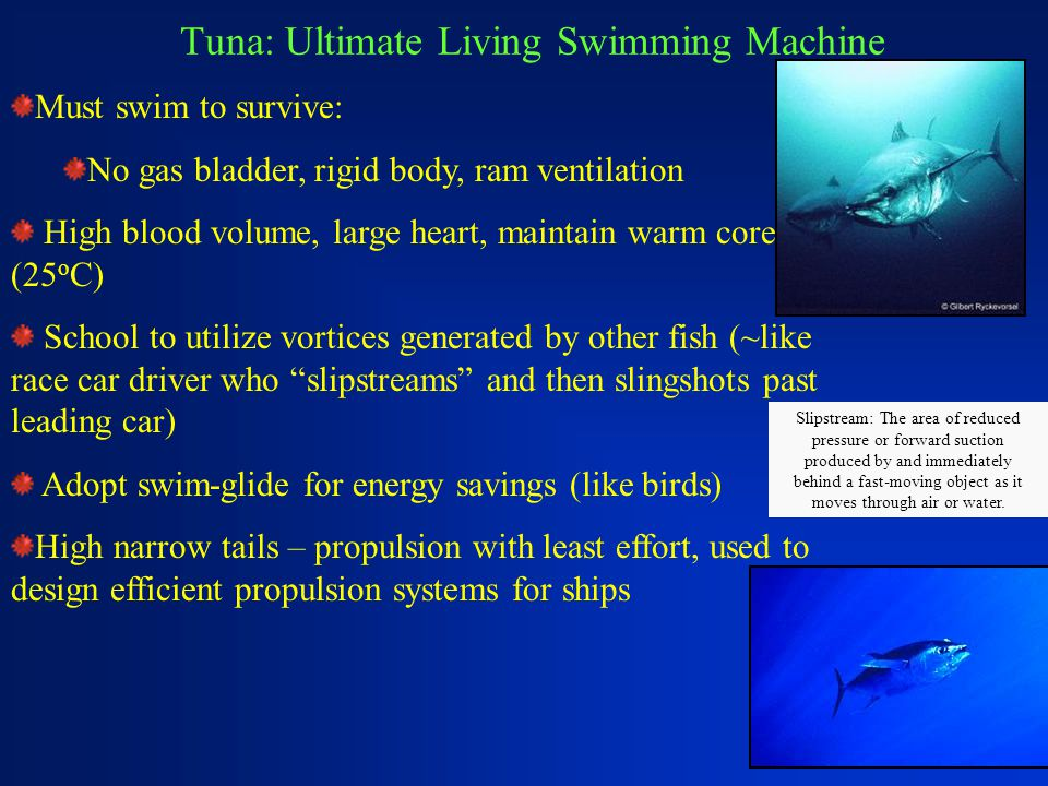 Tuna: Ultimate Living Swimming Machine Must swim to survive: No gas bladder, rigid body, ram ventilation High blood volume, large heart, maintain warm core (25 o C) School to utilize vortices generated by other fish (~like race car driver who slipstreams and then slingshots past leading car) Adopt swim-glide for energy savings (like birds) High narrow tails – propulsion with least effort, used to design efficient propulsion systems for ships Slipstream: The area of reduced pressure or forward suction produced by and immediately behind a fast-moving object as it moves through air or water.