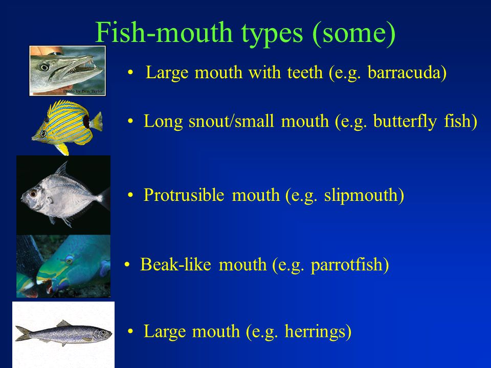 Fish-mouth types (some) Large mouth with teeth (e.g. barracuda) Long snout/small mouth (e.g. butterfly fish) Protrusible mouth (e.g. slipmouth) Large