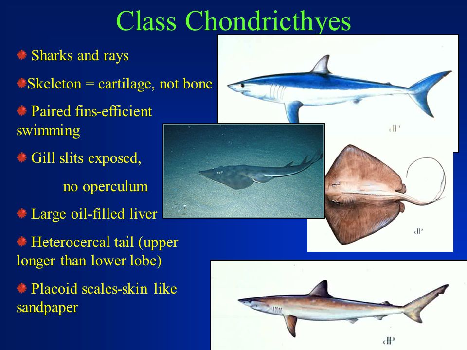 Class Chondricthyes Sharks and rays Skeleton = cartilage, not bone Paired fins-efficient swimming Gill slits exposed, no operculum Large oil-filled li