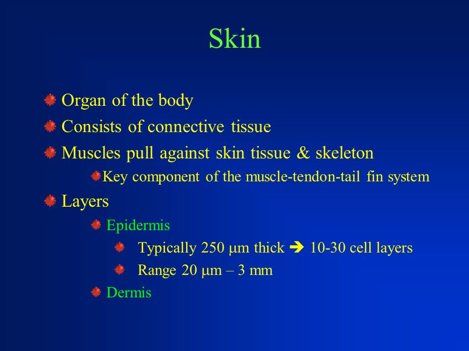 Skin Organ of the body Consists of connective tissue Muscles pull against skin tissue & skeleton Key component of the muscle-tendon-tail fin system La