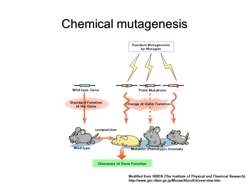 Chemical mutagenesis Modified from RIKEN (The Institute of Physical and Chemical Research) http://www.gsc.riken.go.jp/Mouse/AboutUs/overview.htm