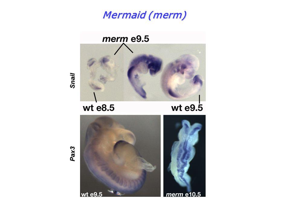 Mermaid (merm) Pax3 Snail