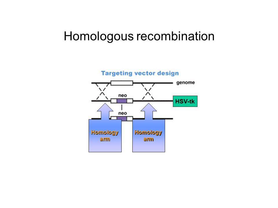 Homologous recombination HSV-tk HomologyarmHomologyarm