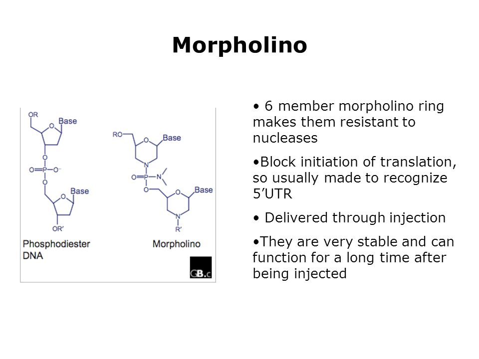 Morpholino 6 member morpholino ring makes them resistant to nucleases Block initiation of translation, so usually made to recognize 5'UTR Delivered th