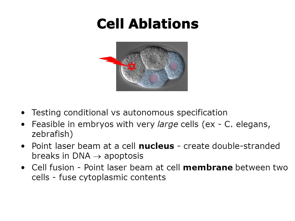 Testing conditional vs autonomous specification Feasible in embryos with very large cells (ex - C. elegans, zebrafish) Point laser beam at a cell nucl