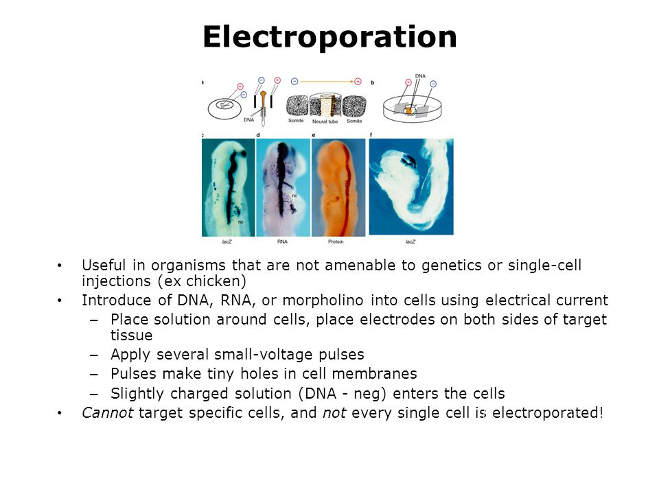 Electroporation Useful in organisms that are not amenable to genetics or single-cell injections (ex chicken) Introduce of DNA, RNA, or morpholino into