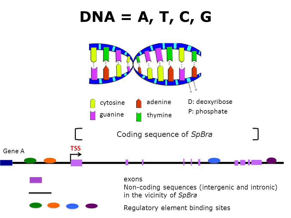 DNA = A, T, C, G cytosine guanine adenine thymine D: deoxyribose P: phosphate Coding sequence of SpBra exons Non-coding sequences (intergenic and intr