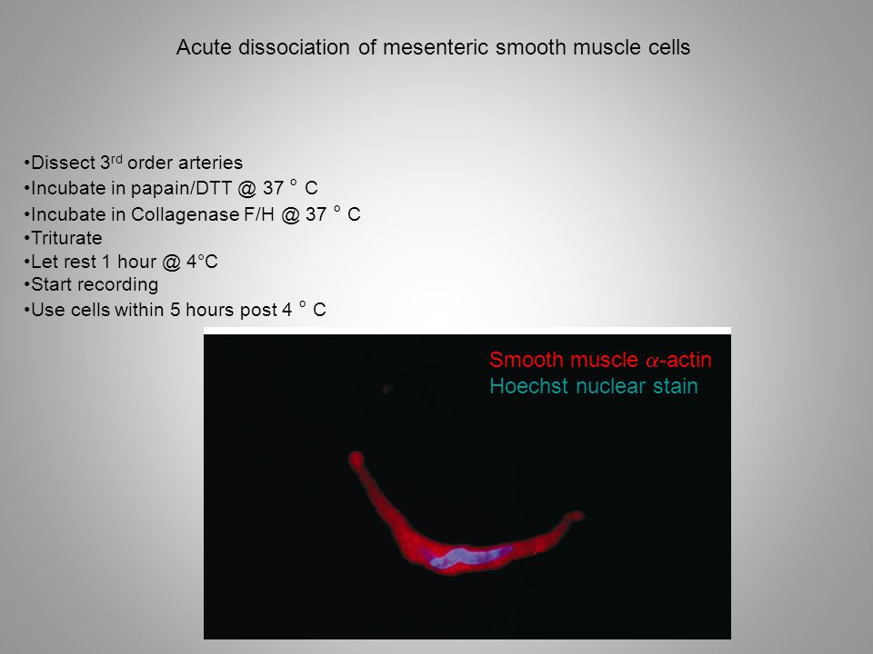 Dissect 3 rd order arteries Incubate in papain/DTT @ 37 ° C Incubate in Collagenase F/H @ 37 ° C Triturate Let rest 1 hour @ 4°C Start recording Use cells within 5 hours post 4 ° C Smooth muscle  -actin Hoechst nuclear stain Acute dissociation of mesenteric smooth muscle cells