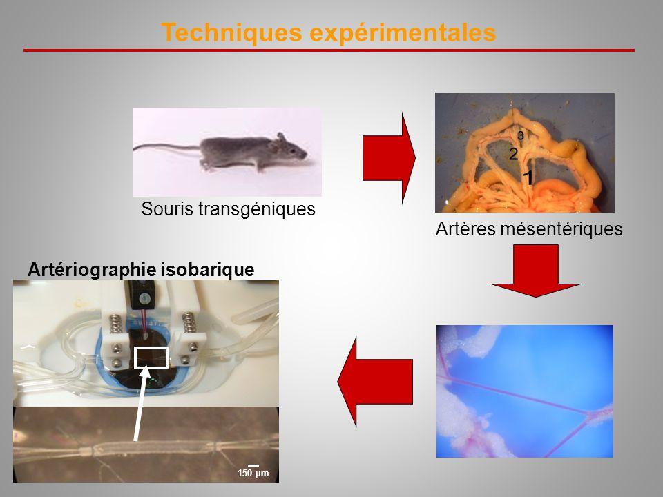 Techniques expérimentales Artériographie isobarique 150 µm Artères mésentériques Souris transgéniques