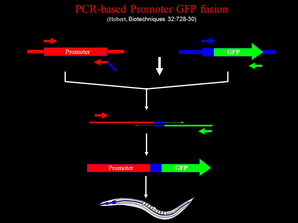 PCR-based Promoter GFP fusion (Hobert, Biotechniques 32:728-30) GFP Promoter GFP Promoter