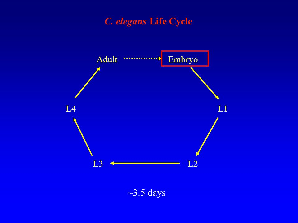 Embryo L1 L2L3 L4 Adult C. elegans Life Cycle ~3.5 days