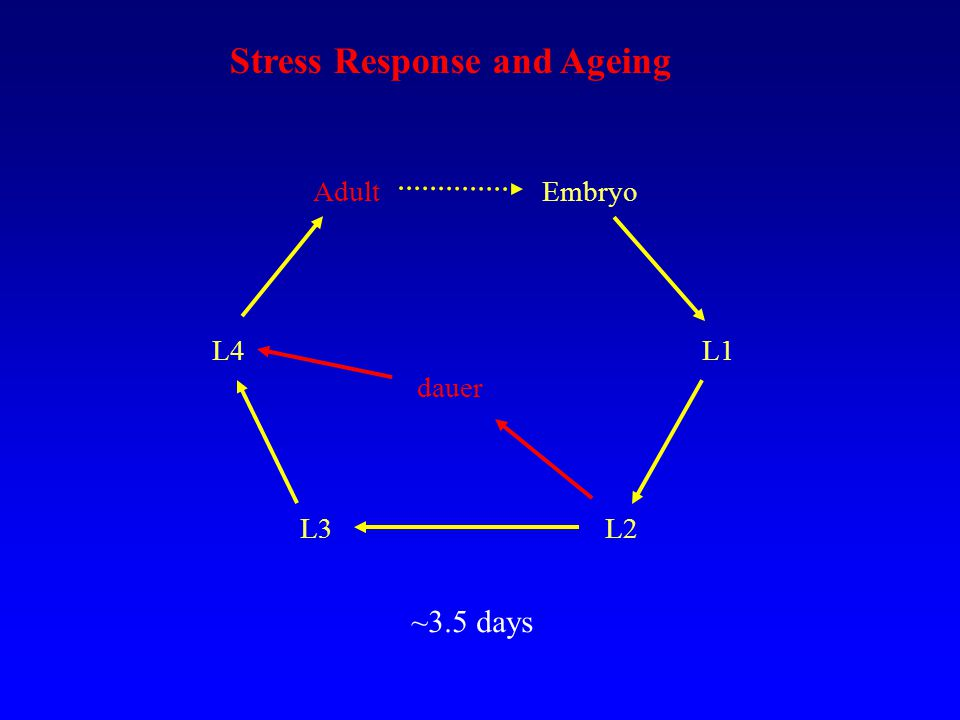Embryo L1 L2L3 L4 Adult dauer ~3.5 days Stress Response and Ageing