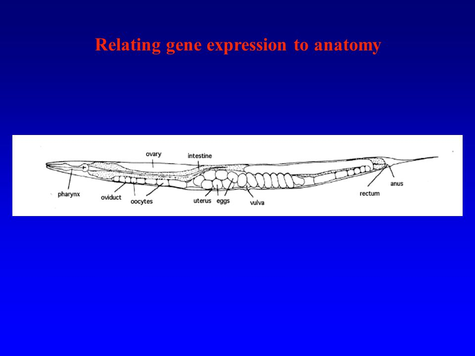 Relating gene expression to anatomy