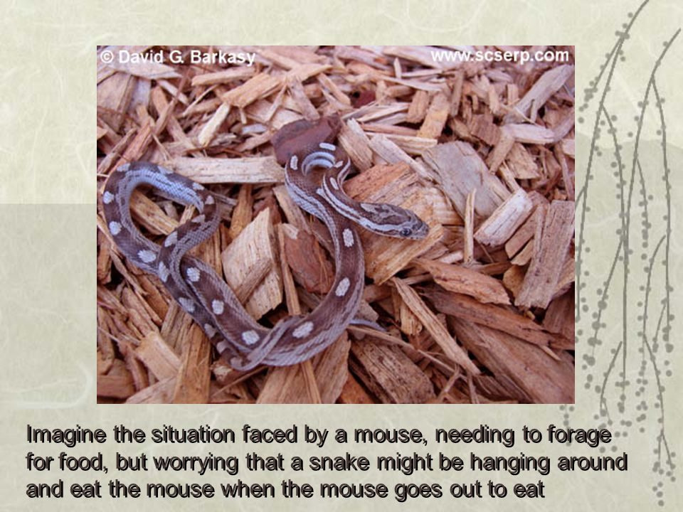 Imagine the situation faced by a mouse, needing to forage for food, but worrying that a snake might be hanging around and eat the mouse when the mouse goes out to eat Imagine the situation faced by a mouse, needing to forage for food, but worrying that a snake might be hanging around and eat the mouse when the mouse goes out to eat