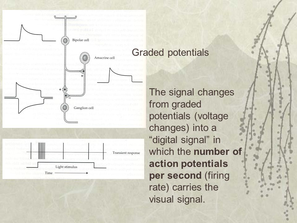 Graded potentials The signal changes from graded potentials (voltage changes) into a digital signal in which the number of action potentials per second (firing rate) carries the visual signal.