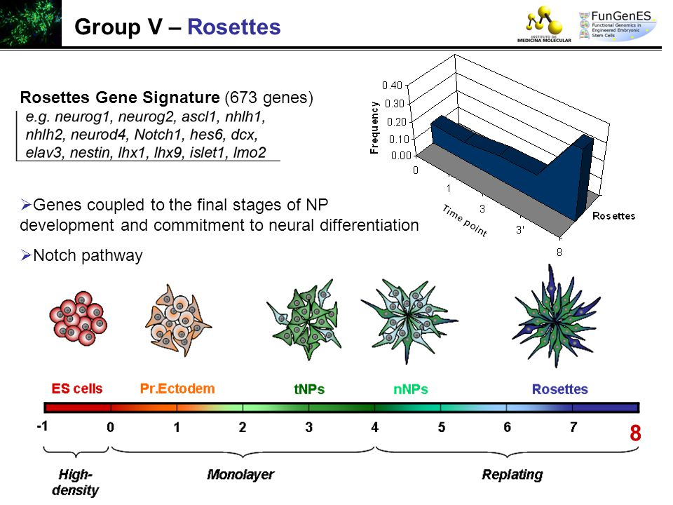Group V – Rosettes 8 Rosettes Gene Signature (673 genes)  Genes coupled to the final stages of NP development and commitment to neural differentiatio