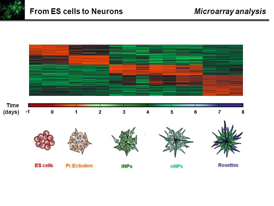 From ES cells to NeuronsMicroarray analysis Time (days)