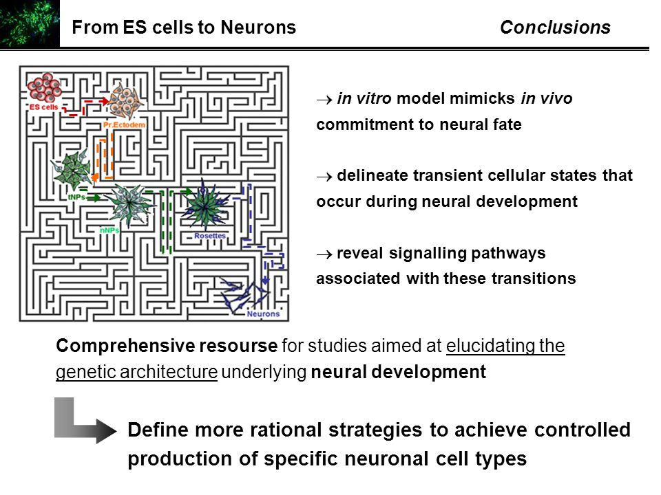 Comprehensive resourse for studies aimed at elucidating the genetic architecture underlying neural development  in vitro model mimicks in vivo commit