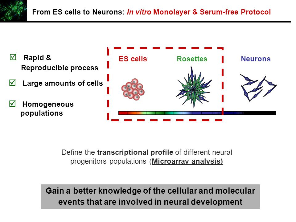 Define the transcriptional profile of different neural progenitors populations (Microarray analysis) ES cellsRosettesNeurons Gain a better knowledge o