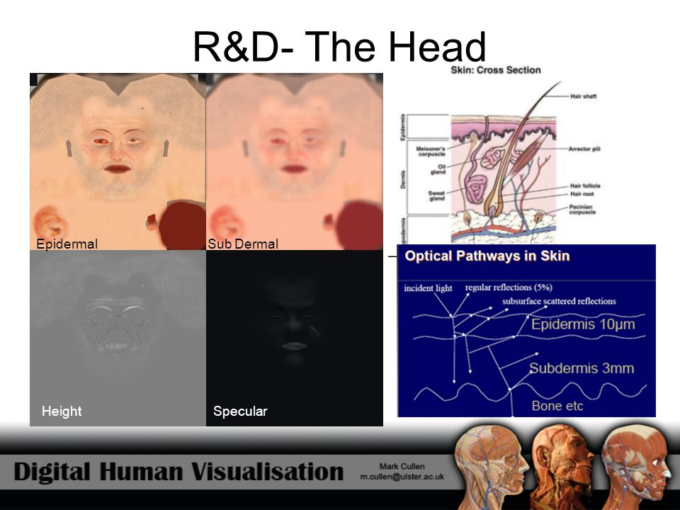 R&D- The Head Sub DermalEpidermal SpecularHeight