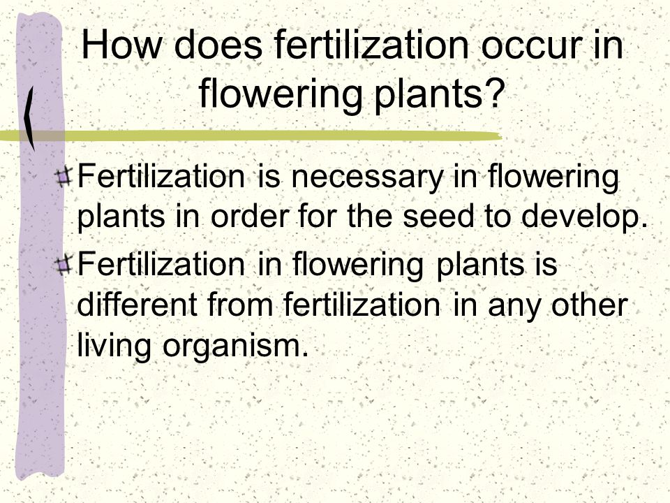 How does fertilization occur in flowering plants? Fertilization is necessary in flowering plants in order for the seed to develop. Fertilization in fl
