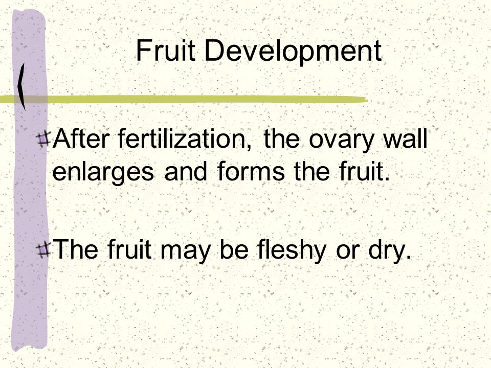 Fruit Development After fertilization, the ovary wall enlarges and forms the fruit. The fruit may be fleshy or dry.