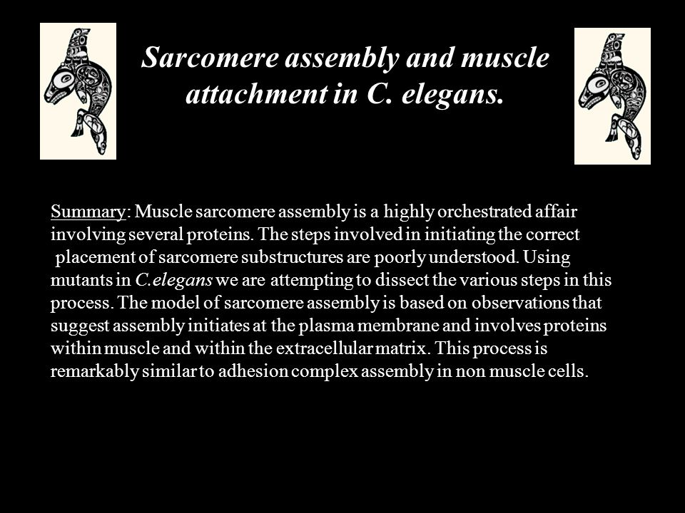 Sarcomere assembly and muscle attachment in C. elegans.