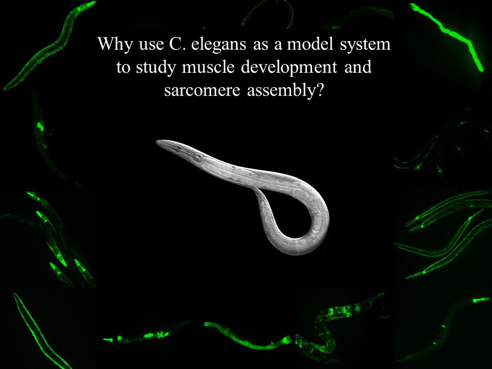 Why use C. elegans as a model system to study muscle development and sarcomere assembly