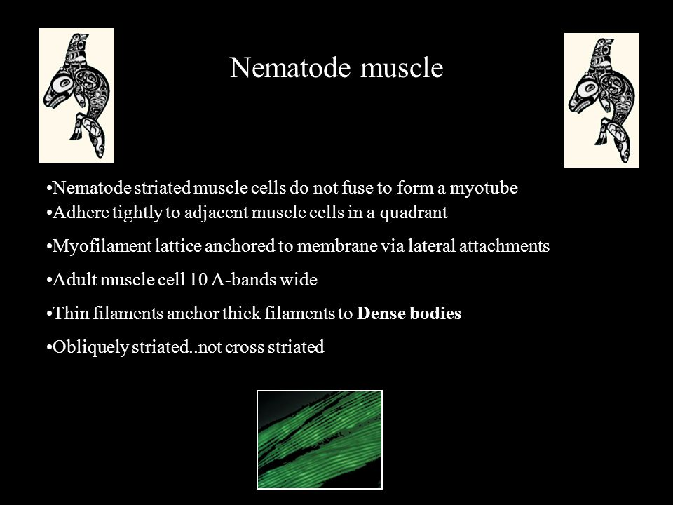 Nematode muscle Adhere tightly to adjacent muscle cells in a quadrant Myofilament lattice anchored to membrane via lateral attachments Adult muscle cell 10 A-bands wide Thin filaments anchor thick filaments to Dense bodies Obliquely striated..not cross striated Nematode striated muscle cells do not fuse to form a myotube